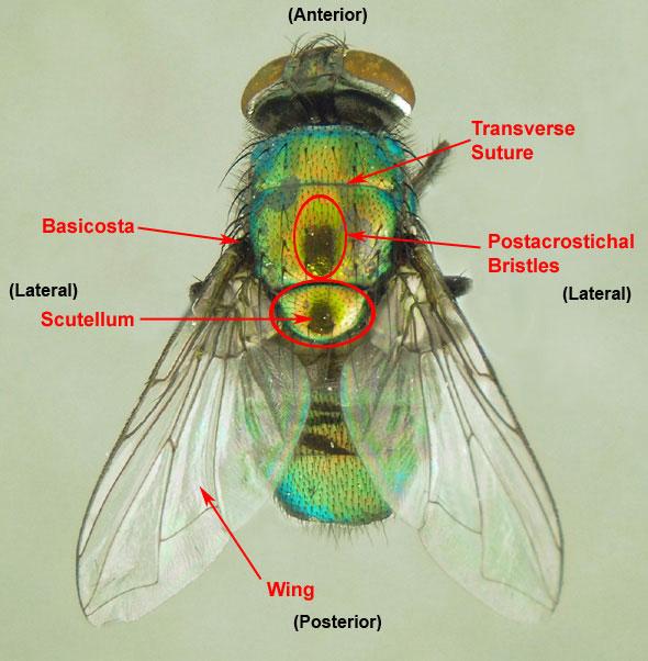 Drosophila melanogaster anatomy